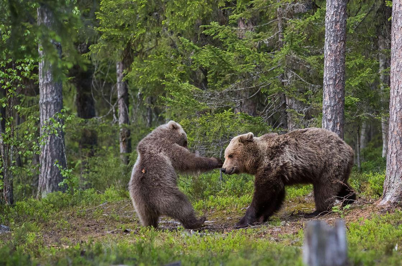 Image from Hannele Kaihola/Comedy Wildlife Photo Awards/Barcroft