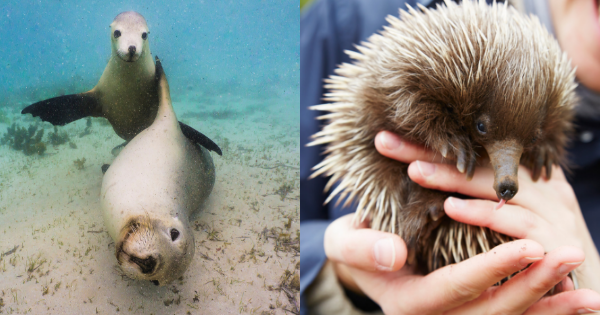 sea lions and echidnas