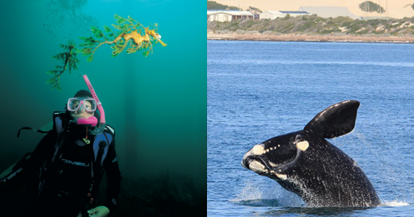 south australia swimming with sea dragon and whale watching