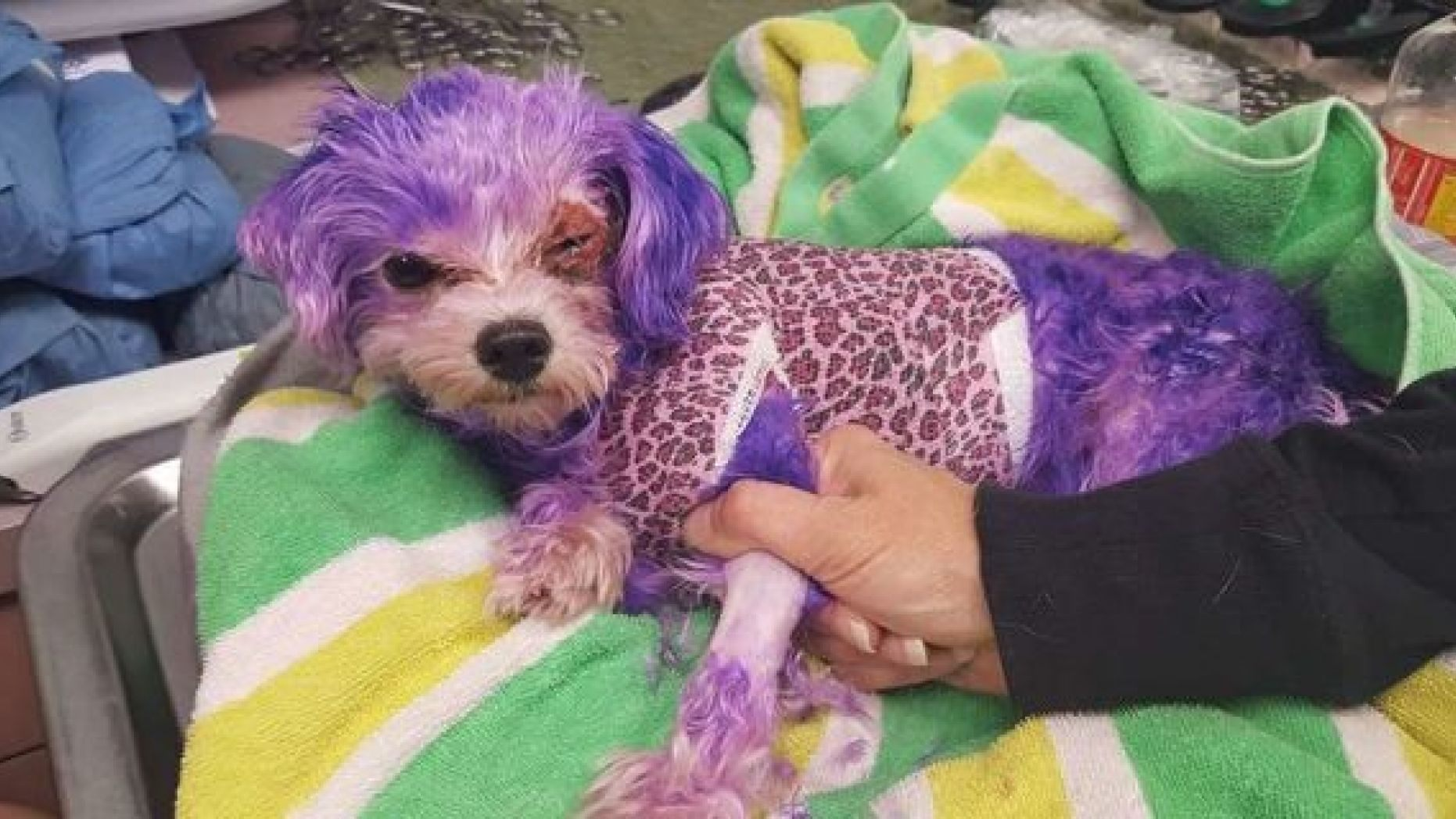 A dog named Violet nearly died last year after being dyed purple.