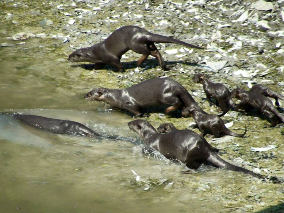 Otters spotted at Sungei Pinang in 2015.