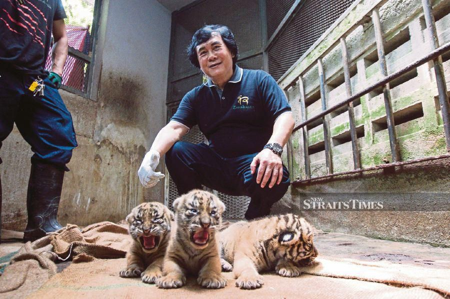 Rosly with three tiger cubs at the zoo in KL last week.
