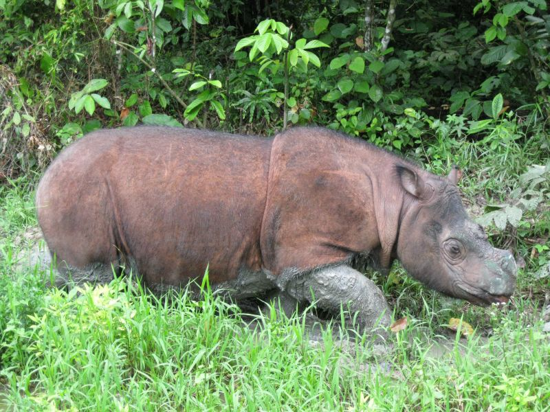 Image from Borneo Rhino Alliance/Malay Mail