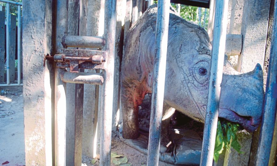 Puntung, a female Sumatran rhino, had to be euthanised in 2017 due to skin cancer.