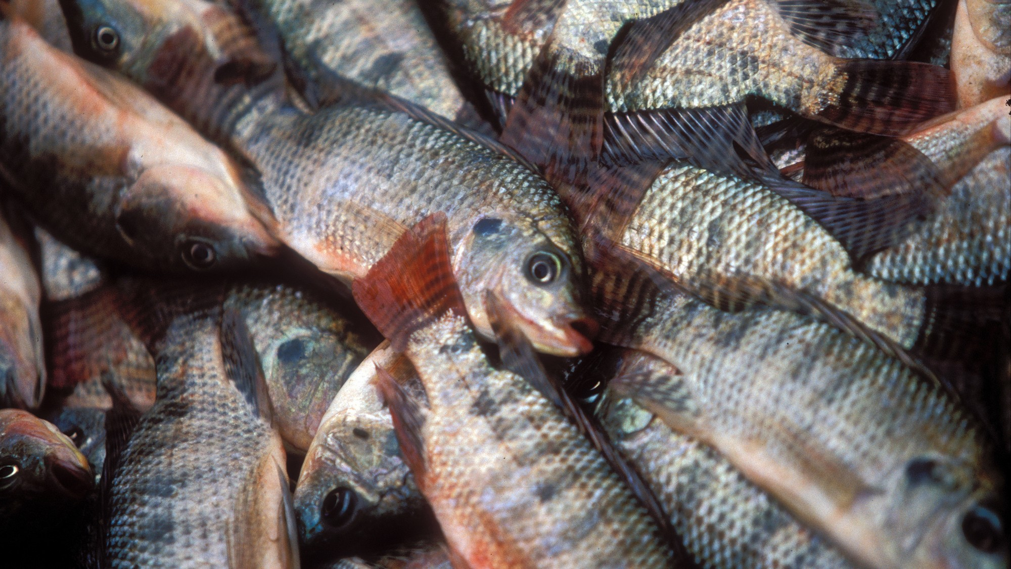 An image of Tilapia fishes