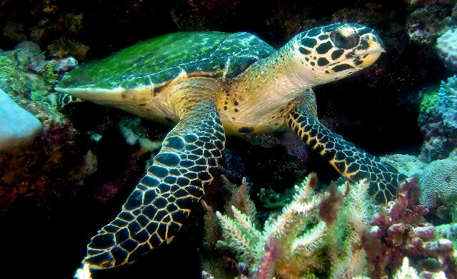 An image of a Green Turtle.