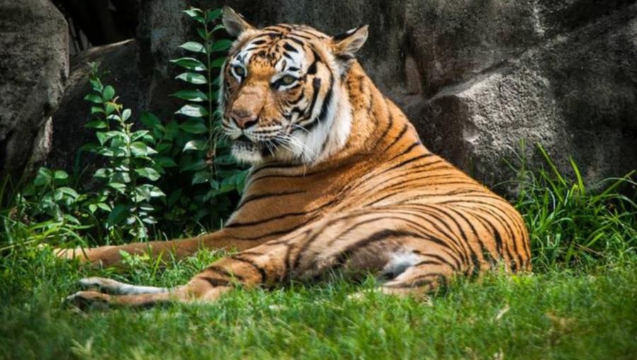 Malayan tiger 'Satu' photographed.