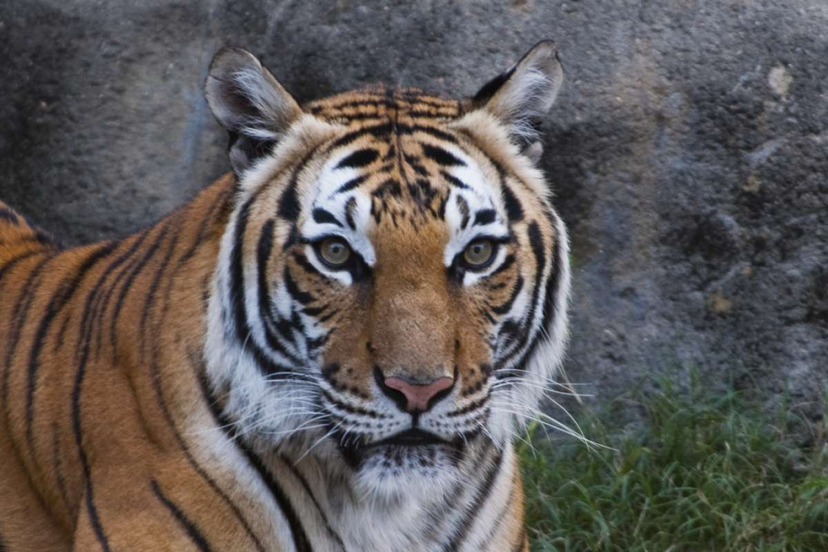 'Satu' photographed in the Houston Zoo.
