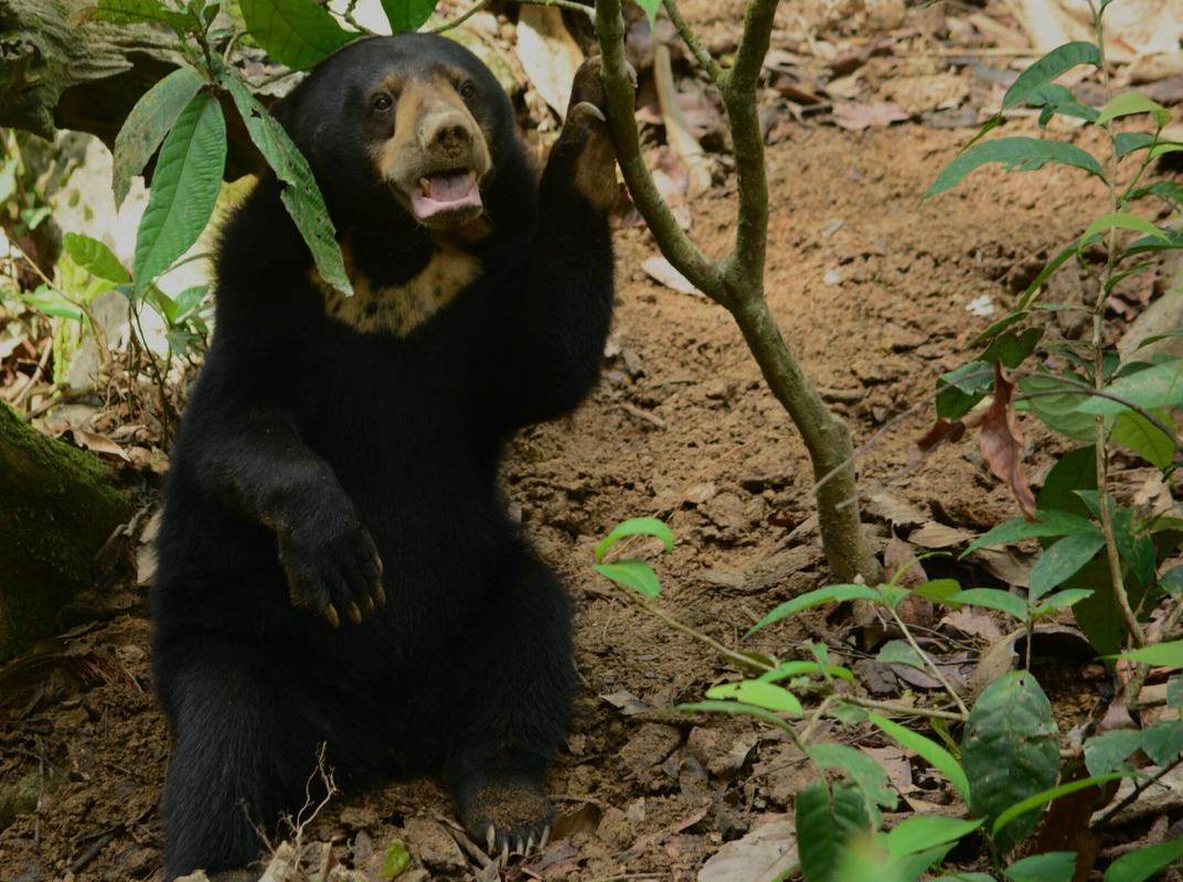 Image from Bornean Sun Bear Conservation Centre (BSBCC)