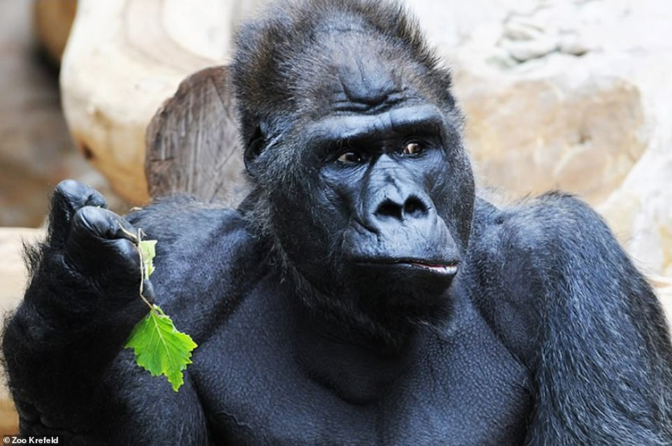 Massa, one of the oldest captive gorillas in Europe, died in the fire.