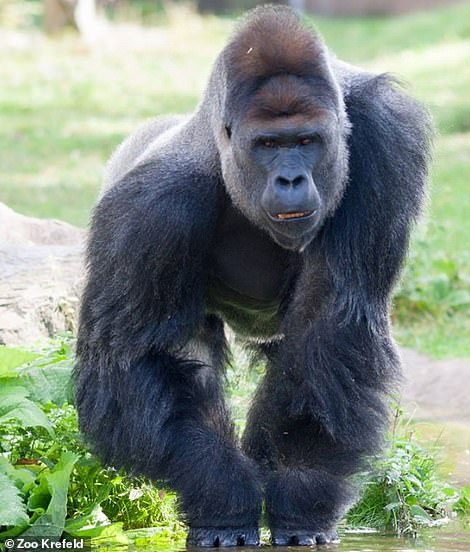 Gorilla Kidogo and his family survived the fire.