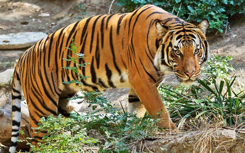 Bilangan harimau malaya hanya tinggal 300 ekor sahaja di Malaysia.