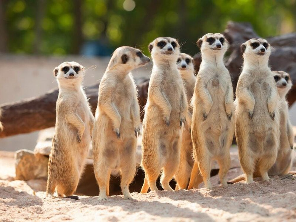 We read that meerkats love cockroaches.