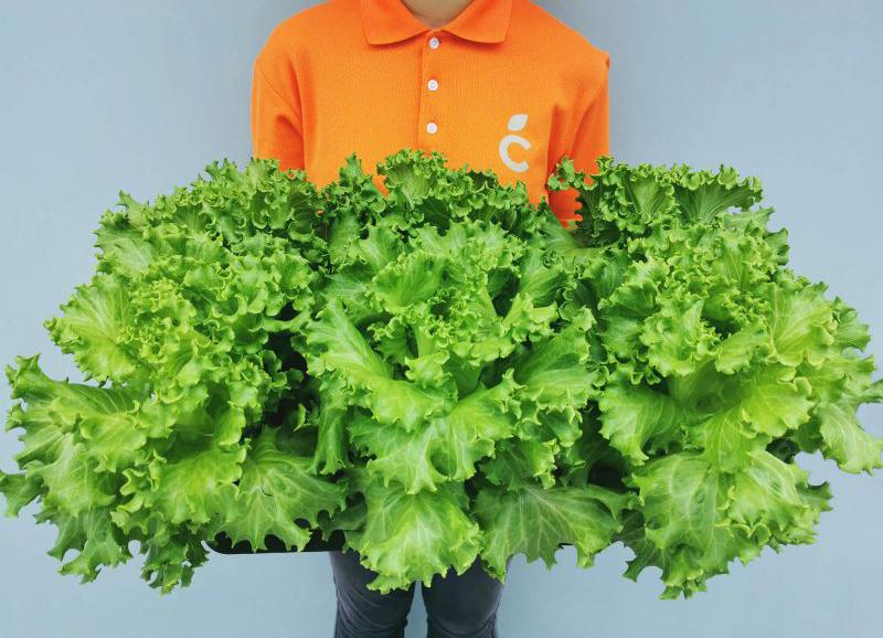 Summer Crisp lettuce.