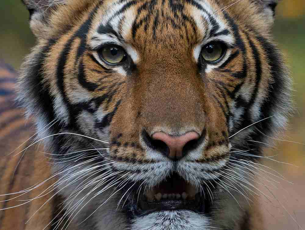 Nadia, the female Malayan tiger at the Bronx Zoo, tested positive for COVID-19.