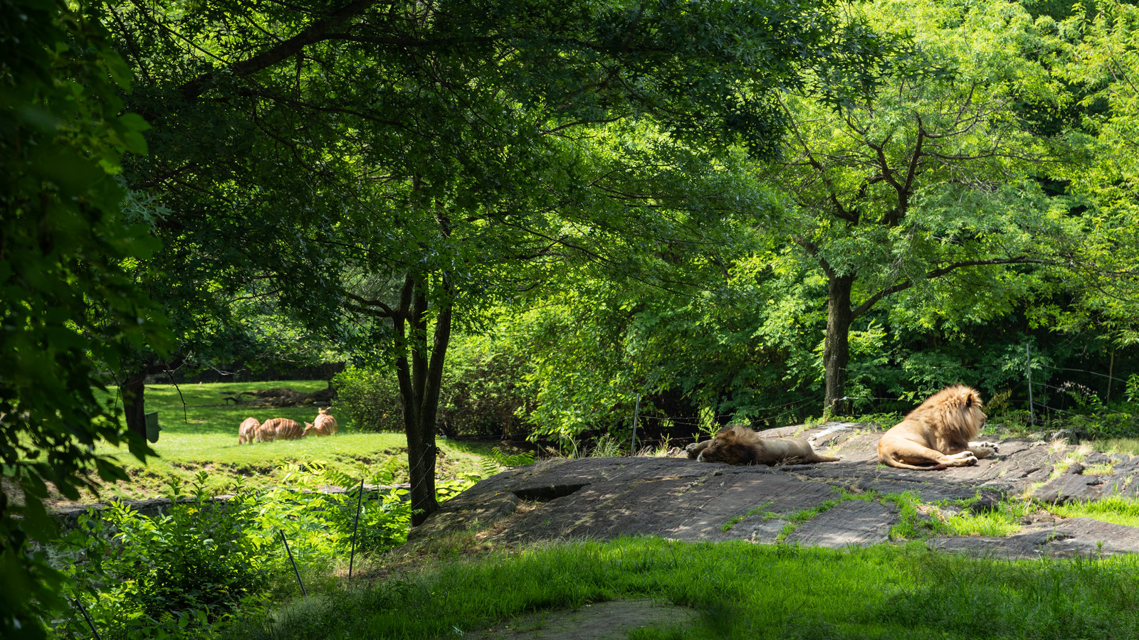 Lions in the Bronx Zoo enclosure.