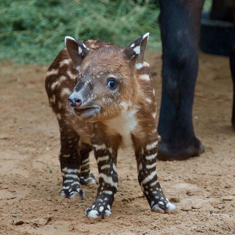 Image from Houston Zoo/ZooBorns/Facebook
