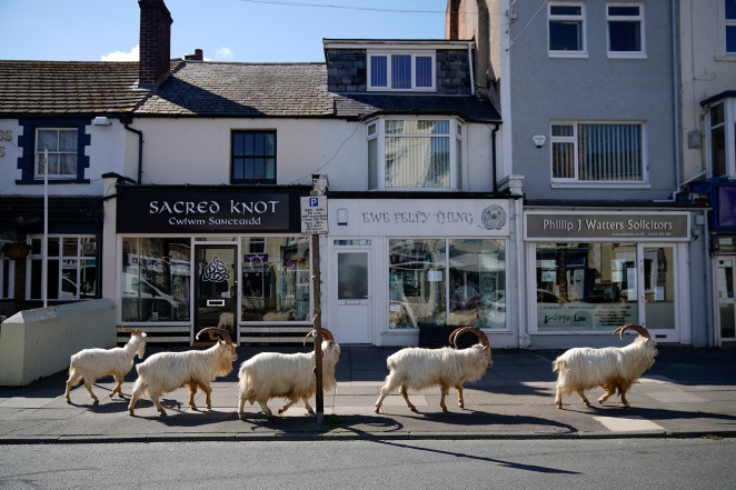 Check out this herd of mountain goats window shopping in Wales!
