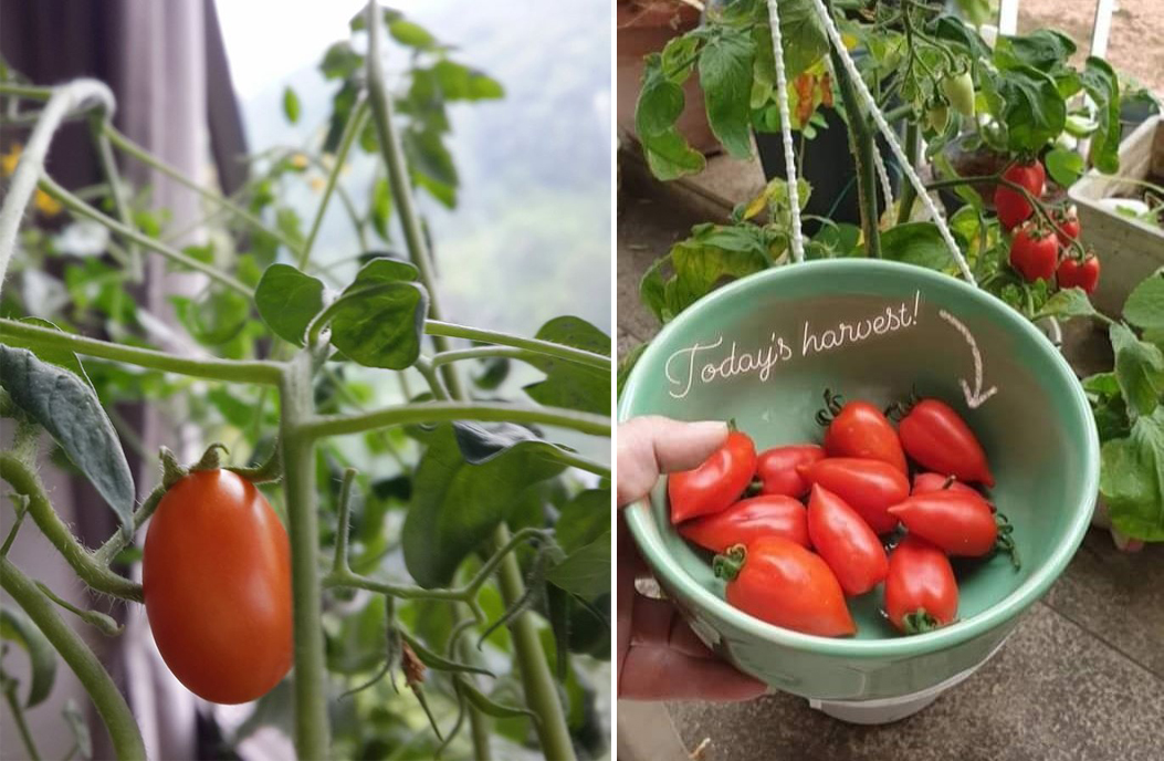 Left: Tomatoes grown indoors in her previous home. Right: Tomatoes grown on her balcony ledge in her current place.