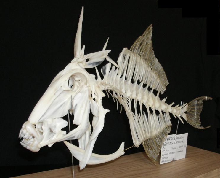 The skeleton of a gray triggerfish.
