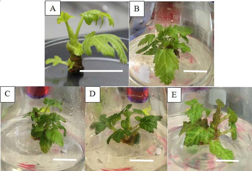 This image shows Dr Chew's work in the propagation of figs.